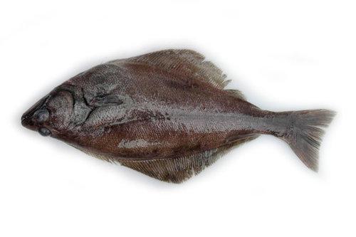 Arrowtooth flounder (Atheresthes stomias)