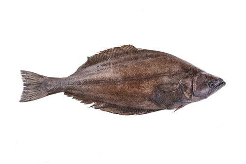 Greenland turbot (Reinhardtius hippoglossoides)