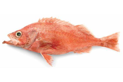 Pacific Ocean perch (Sebastes alutus)