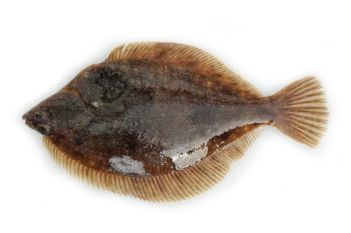 Rock sole (Lepidopsetta polyxystra)