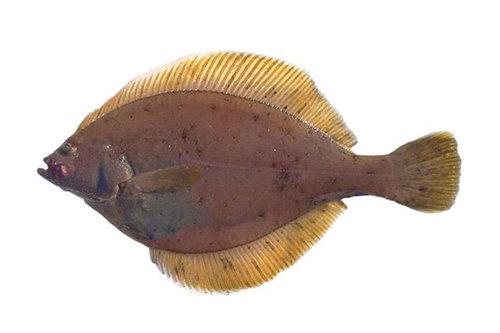 Yellowfin sole (Limanda aspera)